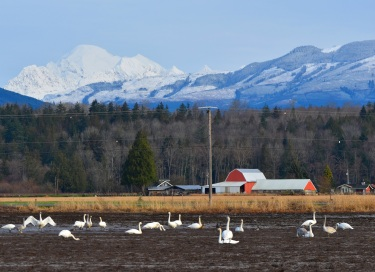 Trumpeter Swans, Red Barn, Mount Baker