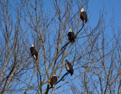 eagles in tree this one