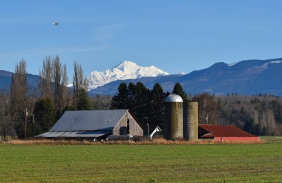 mount baker barn flying swans this one