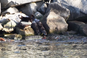 Otters on the Rocks