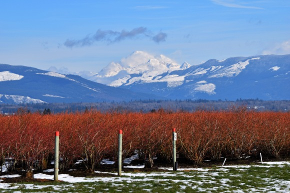 Mount Baker and Blueberry Bushes in Skagit County, WA.