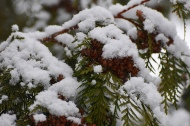 cedar branch in snow this one