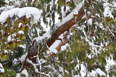 Cedar Branches and Snow