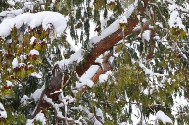 Cedar Branches and Snow