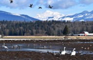 Ducks and Swans and Mount Baker.