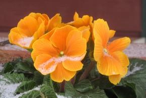 primrose in snow this one