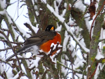 robin in snowy tree this one