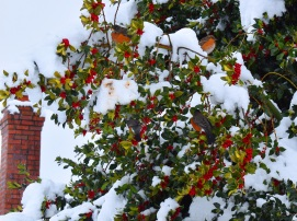 Robins in Red Berries