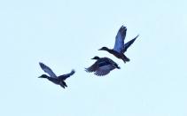 three ducks flying this one