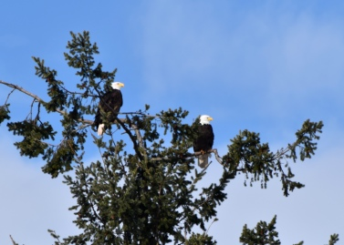 two eagles in tree