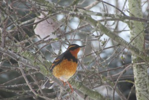 varied thrush bird this one 1