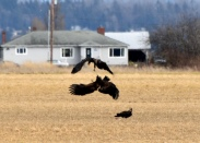 eagles in a field 7 this one