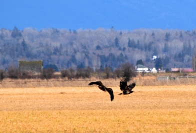 juvenile eagles in a field this one