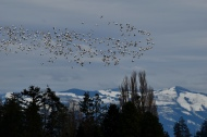 snow geese and mountains this one maybe
