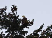 eagle in tree this one