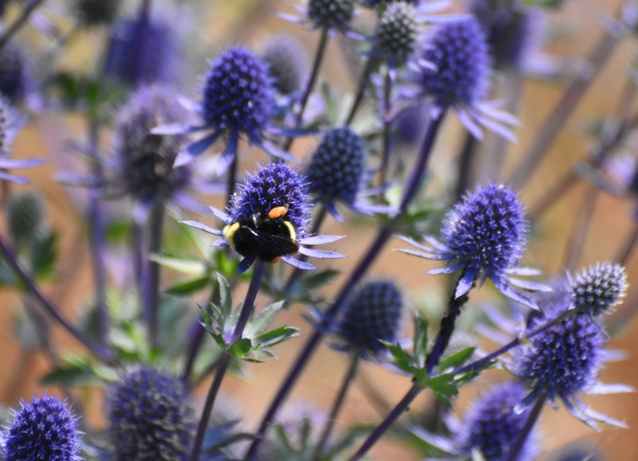 bee on sea blue holly thistle like this one really