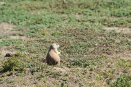 prairie dog north dakota this one 2