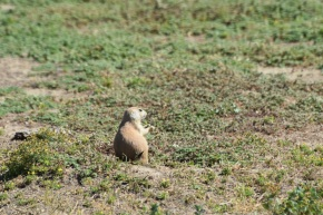 Prairie Dog in Wyoming