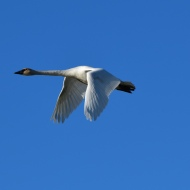 December: Trumpeter Swan Flying over Skagit County, WA