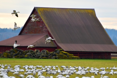 Snow geese in Skagit County, Washington. Photo by Karen Molenaar Terrell.