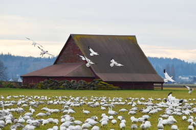 February: Snow Geese and a Red Barn in Skagit County