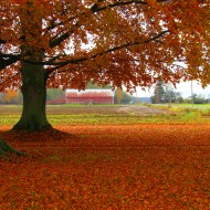 October: Autumn Beech Trees in Skagit County, WA