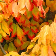 September: Autumn Leaves in Skagit County, WA