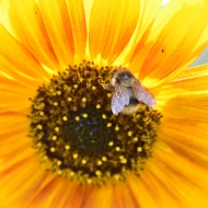 August: Bee on Sunflower