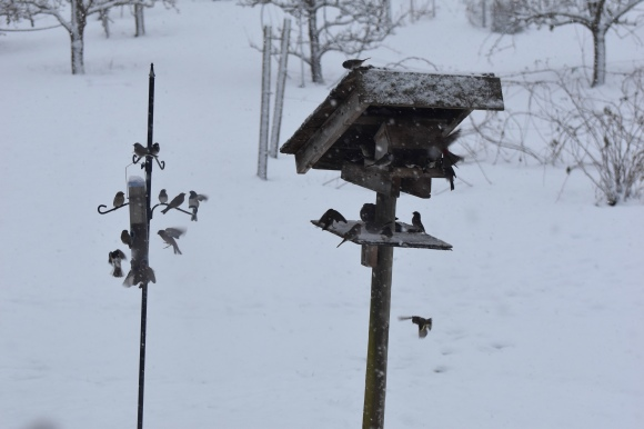 finches at bird feeder this one (3)