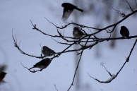 finches this one birds