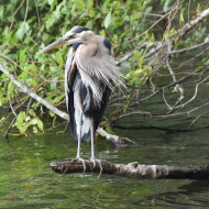 July: Heron at Lake Padden