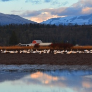January: Swans in front of Mount Baker