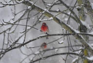 red finch this one (2) really