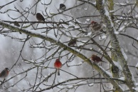 red finches this one (2) really