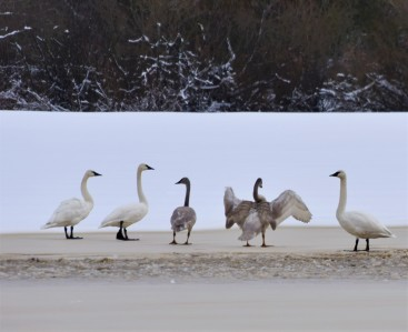 Trumpeter swans in the snow in Skagit County, WA.
