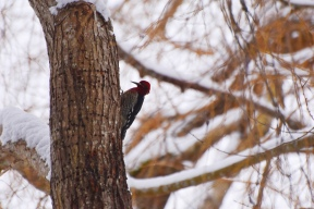 woodpecker this one 2