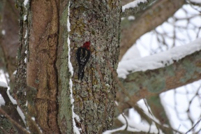 woodpecker this one 6