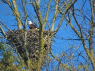 eagle on nest easter