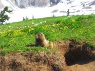 Marmot on Rainier